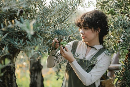 Ethnic farmer touching bunches of green olives on plantation