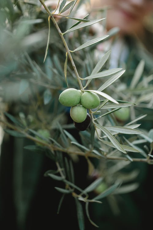 Branch with green olives on countryside plantation
