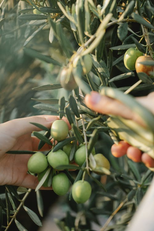 Faceless gardener touching bundle of olives on tree with green foliage on farm in sunlight