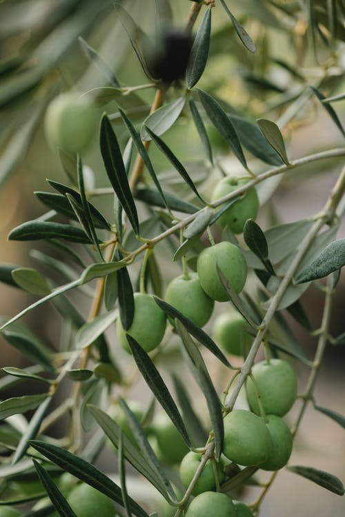 Green olive fruits growing on tree with thin stalks and pointed foliage in countryside