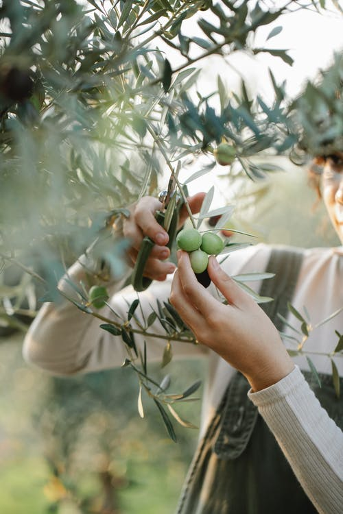 Crop unrecognizable woman cutting olives on tree in garden
