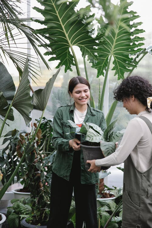 Cheerful female gardeners working with lush plants in hothouse