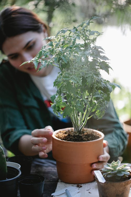 Concentrated ethnic female gardener sitting ta table with green flower planted in pot while working in garden on blurred background