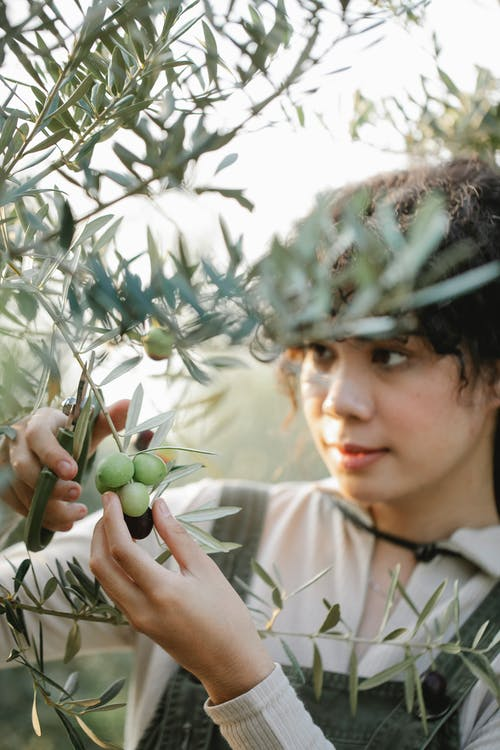 Concentrated ethnic female with scissors cutting sprig of olive tree with green foliage while working in garden on blurred background