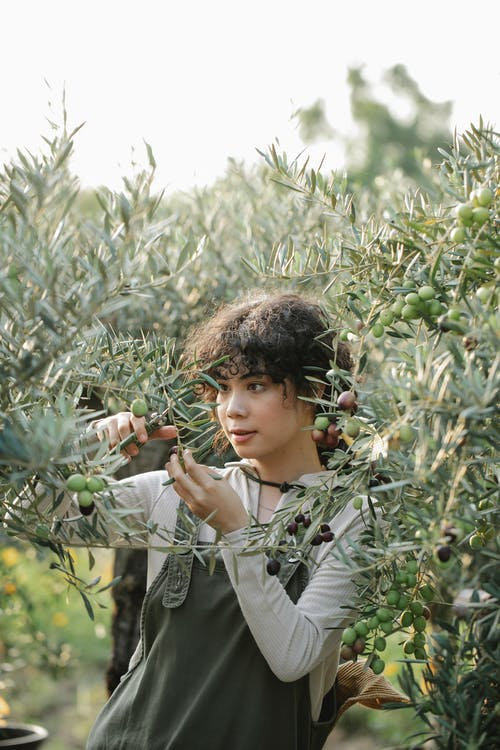 Serious ethnic female gardener with scissors cutting branches of olive tree while standing on plantation in garden during harvest season