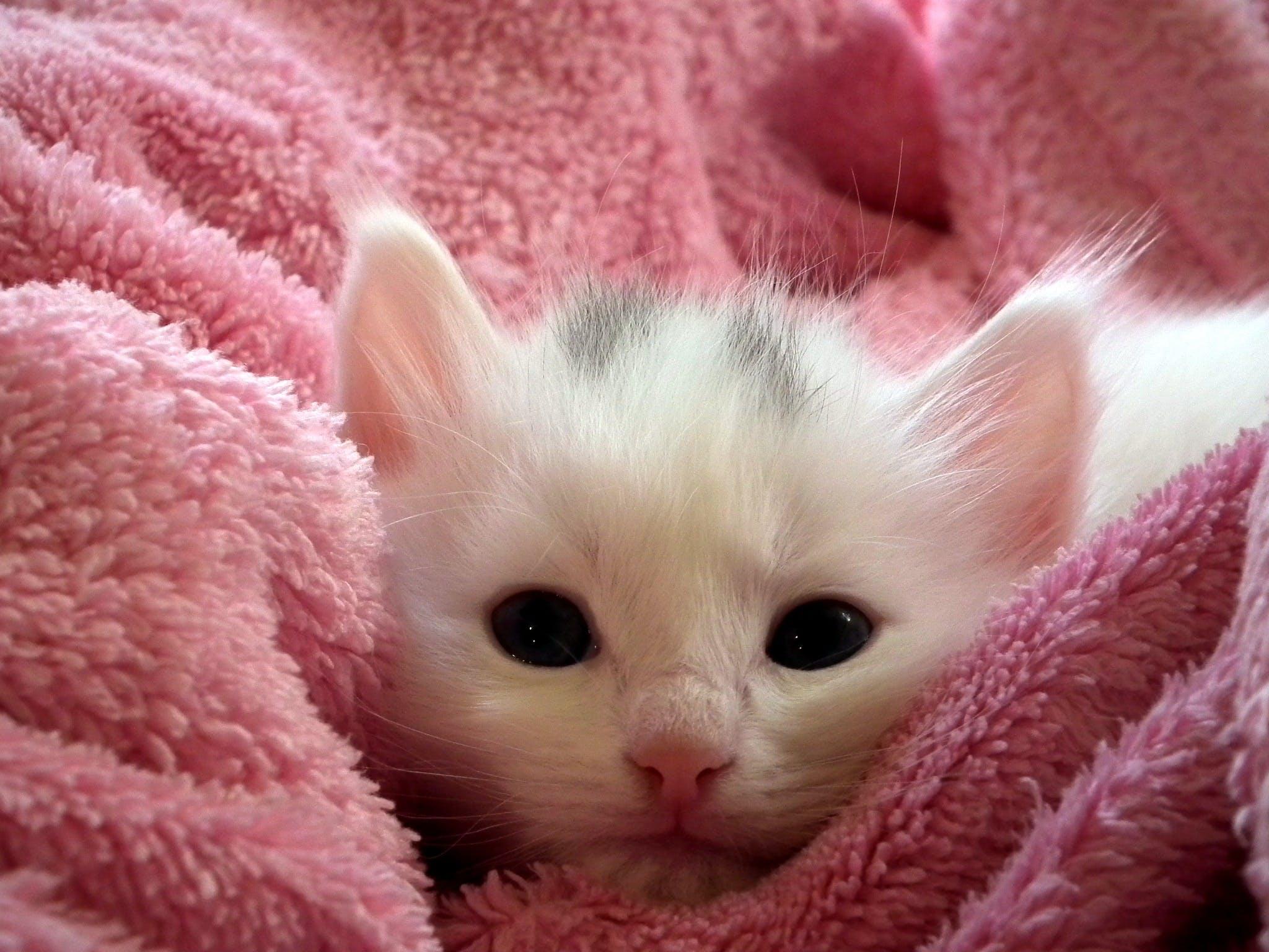 Kostenloses Stock Foto zu decke, haustier, kätzchen, katze