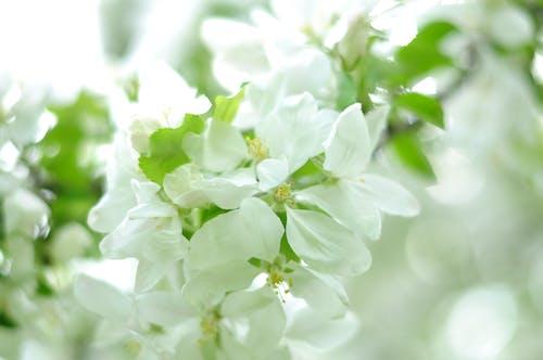 Darmowe zdjęcie z galerii z biały, kwiat, kwiat wiśni