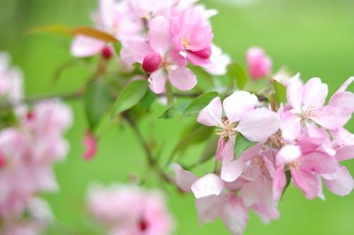 Darmowe zdjęcie z galerii z brzoskwinia, brzoskwiniowy kwiat, bum