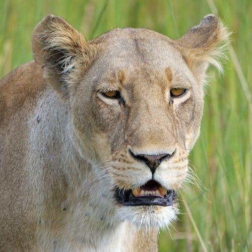 Foto stok gratis binatang, fotografi binatang, kehidupan liar, kucing buas