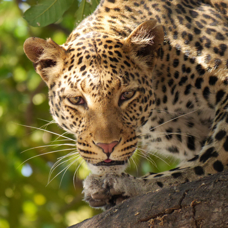 Kostenloses Stock Foto zu große katze, leopard, nahansicht, panthera