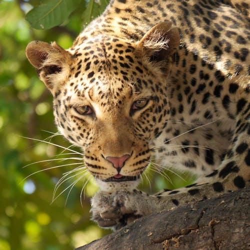 동물, 동물 사진, 레오파드, 수염의 무료 스톡 사진