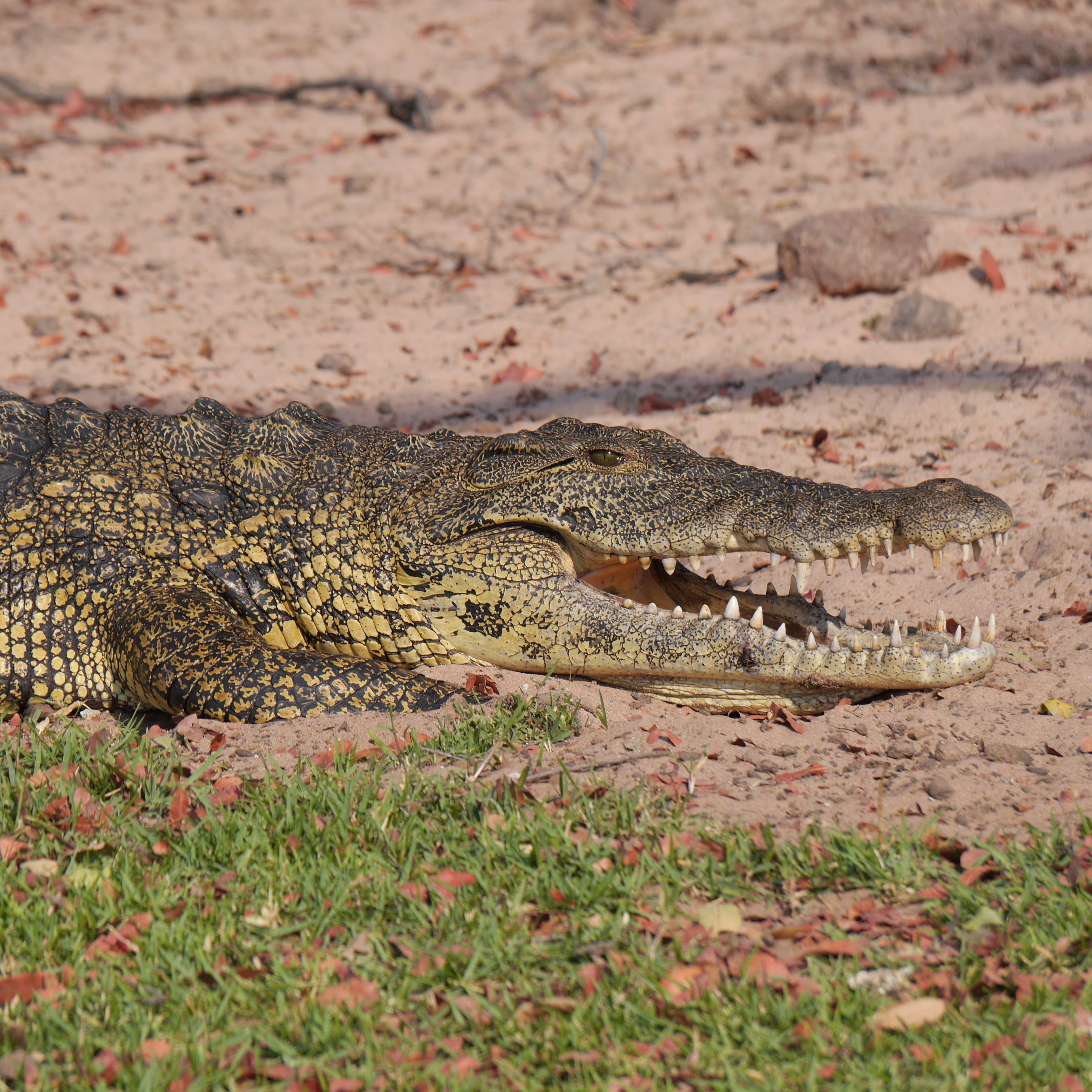 Grey and Yellow Crocodile Crawling With Open Mouth during Daytime
