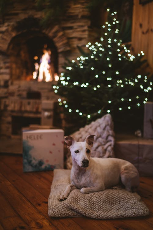 White Short Coated Dog Sitting on Brown Wooden Floor Beside Green Christmas Tree With String Lights
