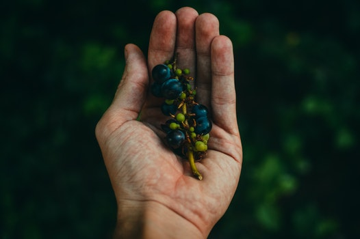 Blue Berries on Sprig Cupped in Human Hand