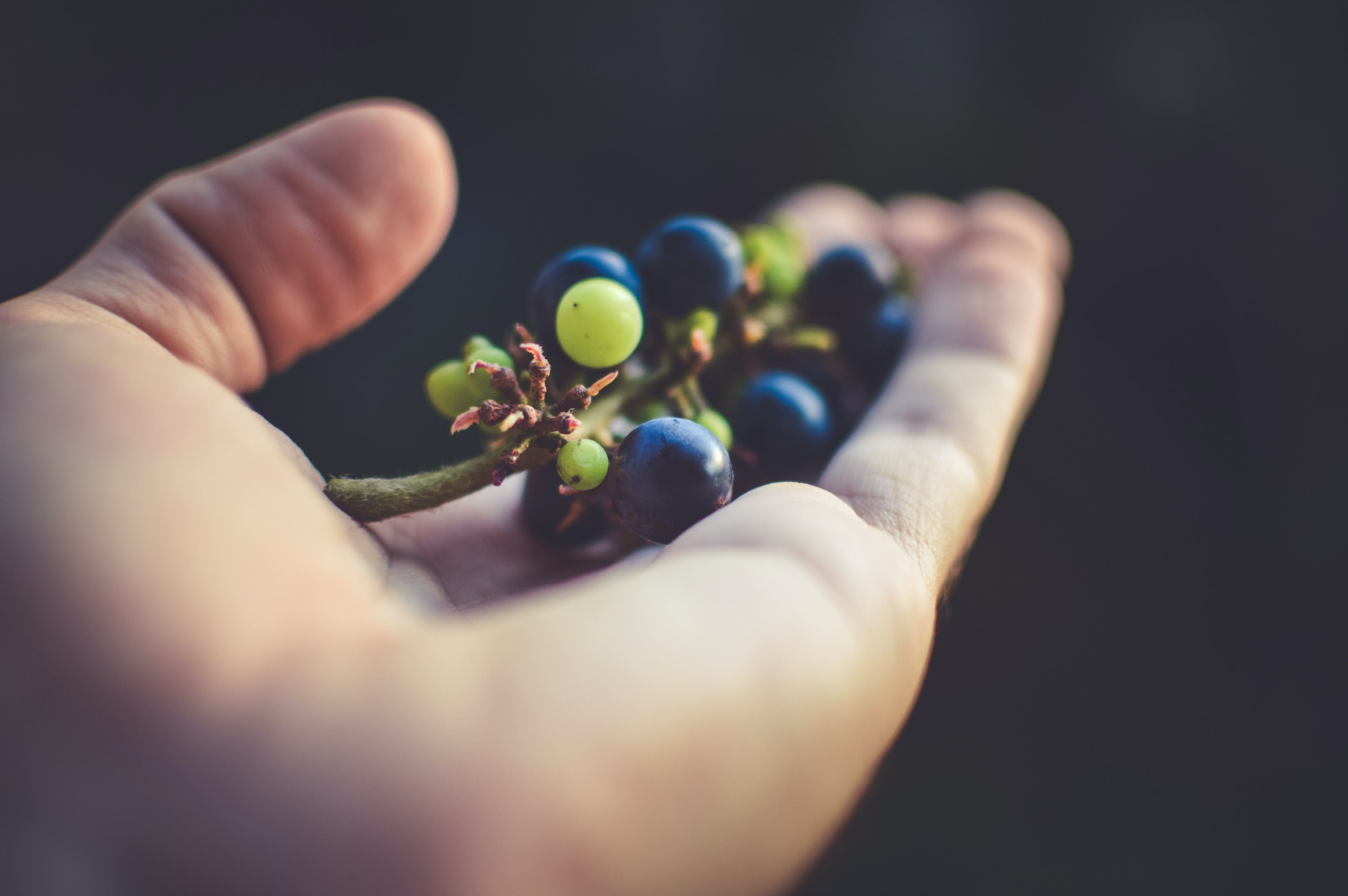Person Holding Purple Grapes