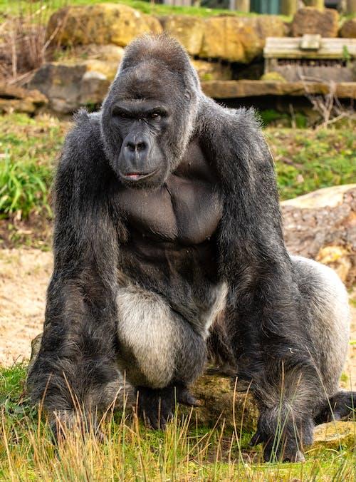 Black Gorilla on Green Grass
