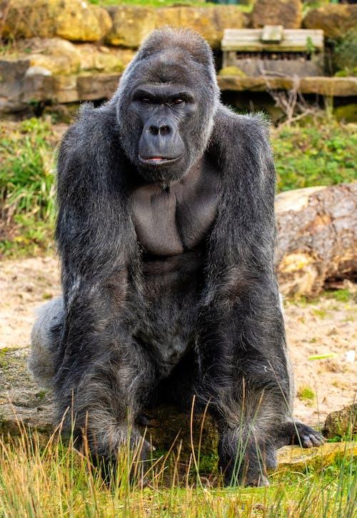 Full Shot of an Old Gorilla