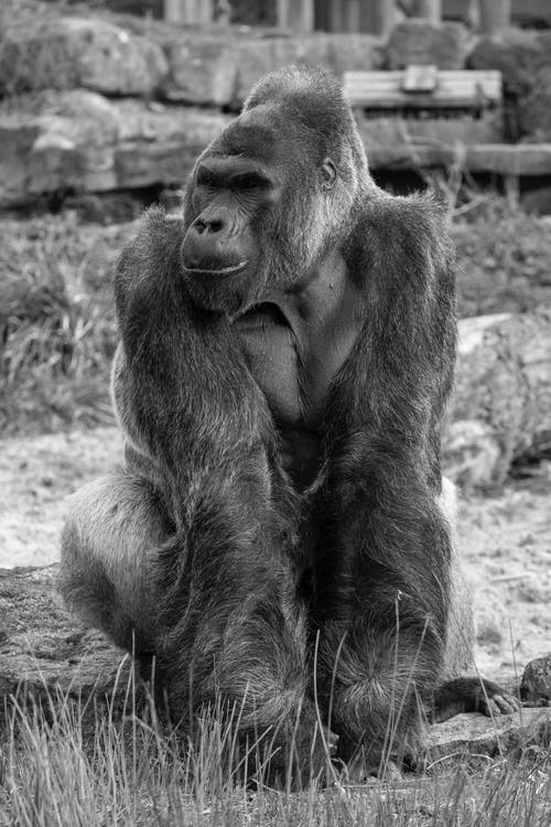 Full Shot of Gorilla in Grayscale Photography