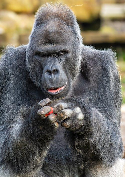 Close Up Photo of Gorilla
