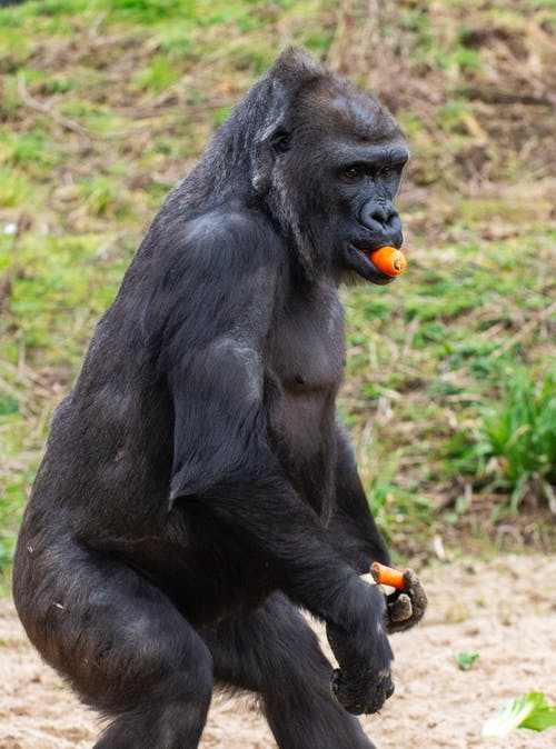 Gorilla Eating and Holding Carrots