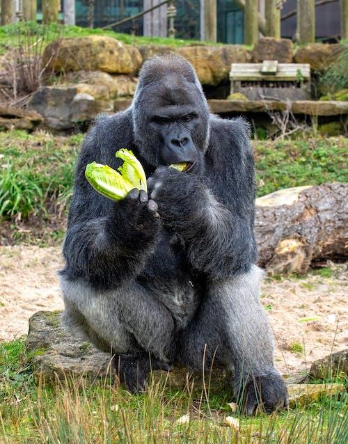 Black Gorilla Eating Cabbage