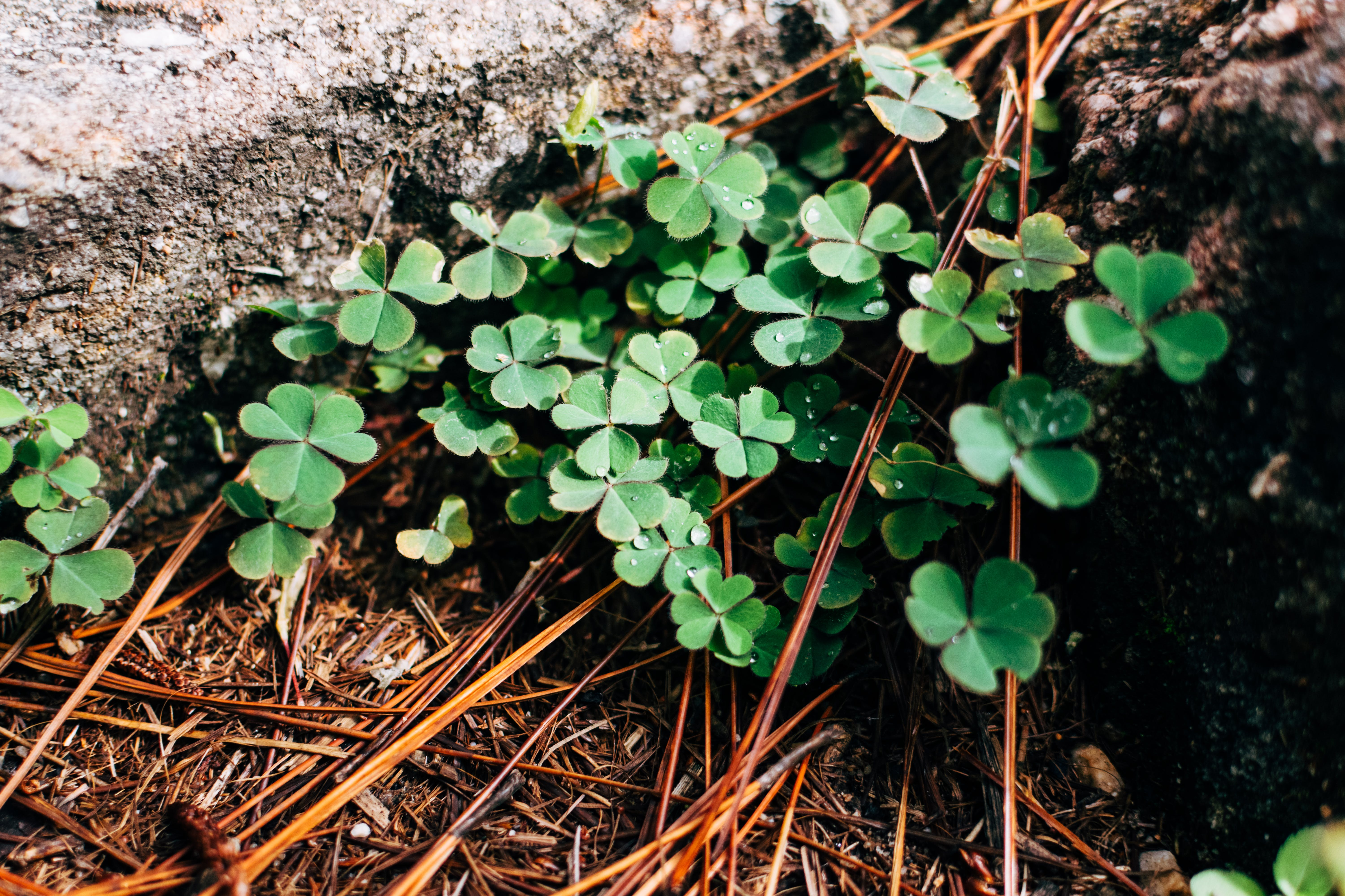 Photography of Green Clover Plants