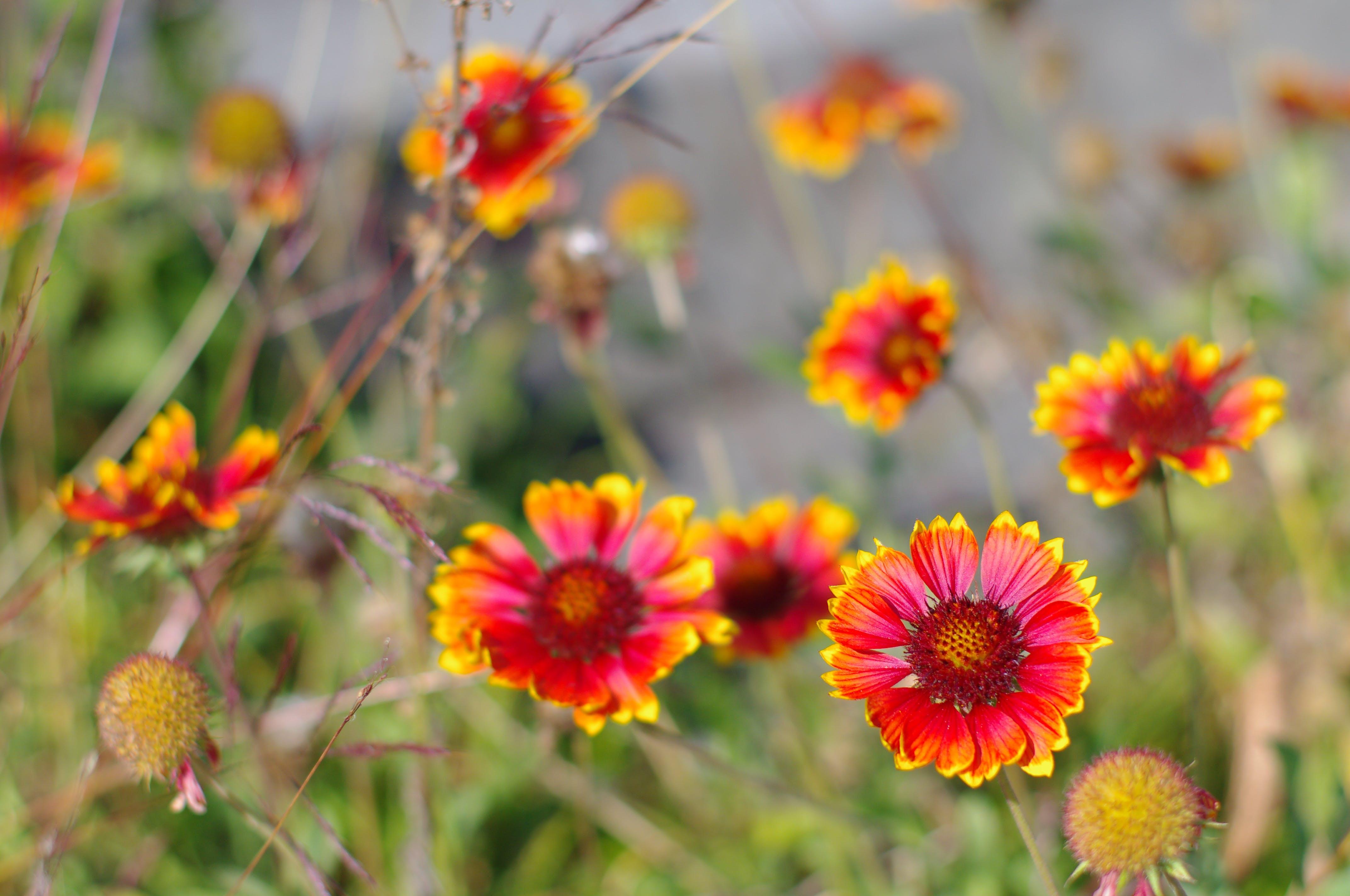 Free stock photo of bokeh, flowers nature