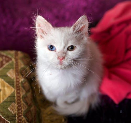 Free stock photo of cat, Heterochromia, kitten