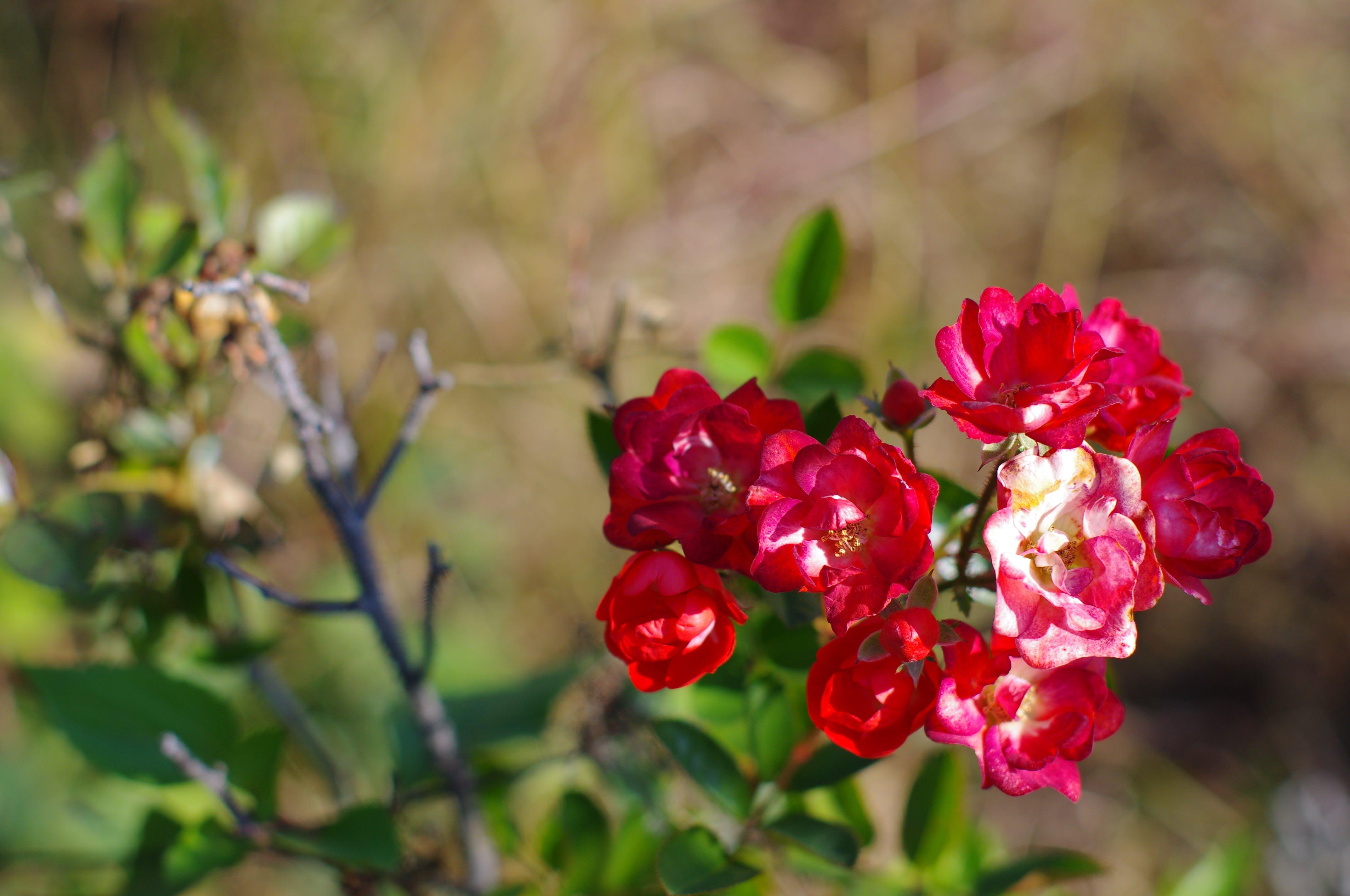 Free stock photo of bokeh, flowers, nature