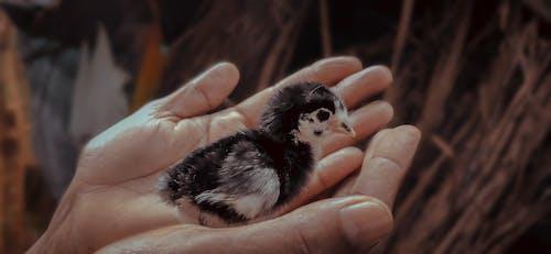Free stock photo of baby chicken, bird, chick