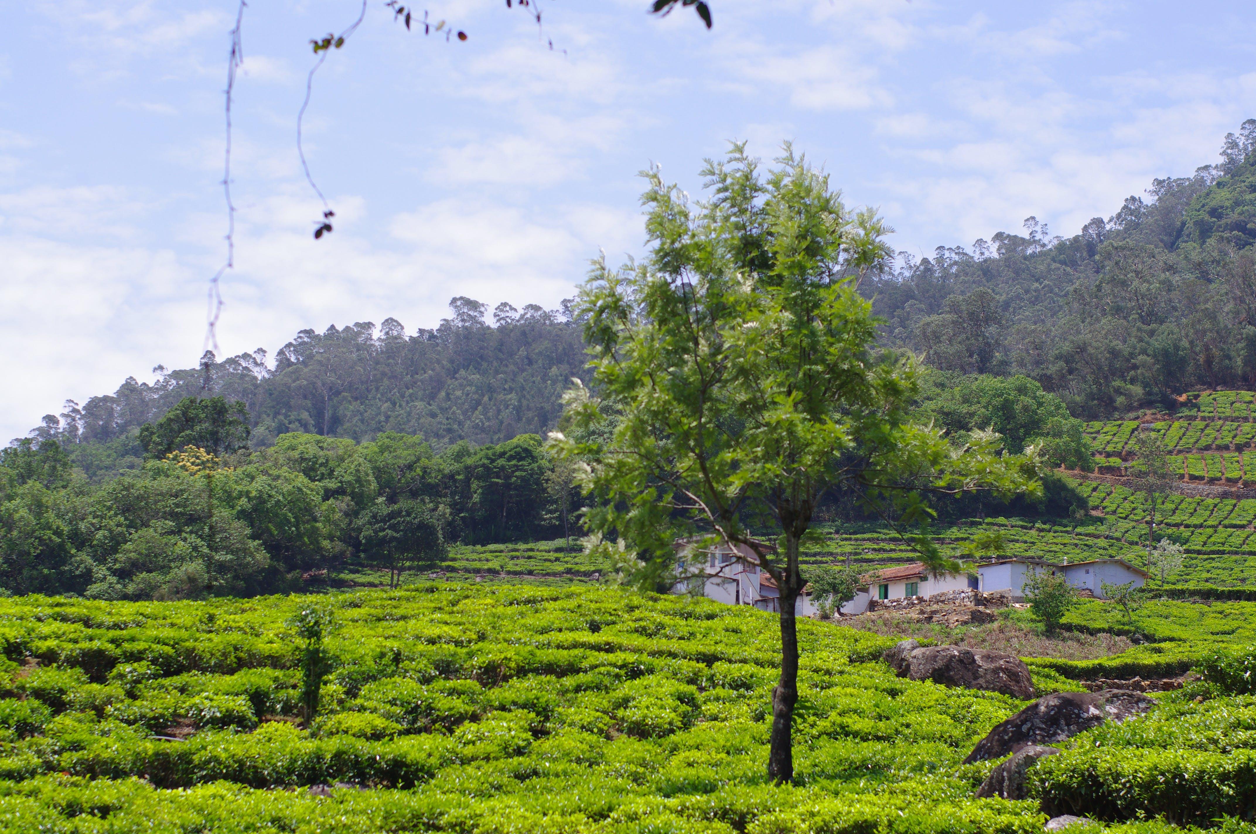 Free stock photo of green, india, nature, tea plantation
