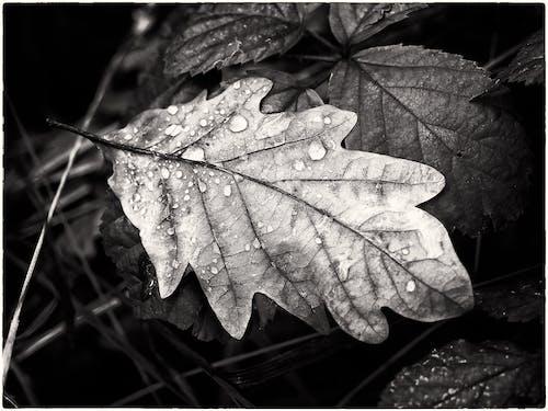 Základová fotografie zdarma na téma černá a bílá, jednobarevný, kapky vody, kontrast