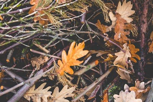 Foto d'estoc gratuïta de arbust, branques, fullatge