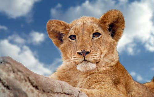 Brown Lion Cub Under Blue and White Sky