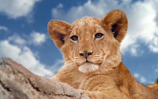 Free stock photo of animal, zoo, lion, outdoors