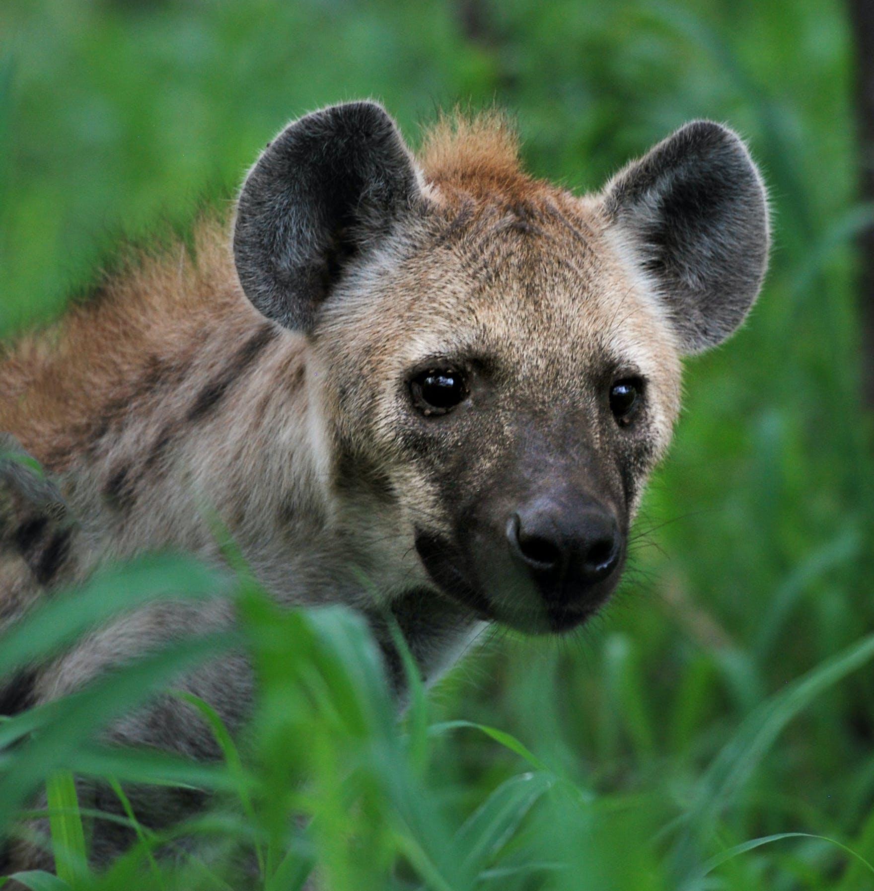 Gray Hyena Through Grass