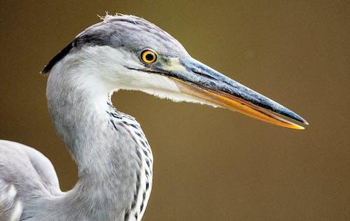 Imagine de stoc gratuită din animal, cocor, egretă, faună sălbatică