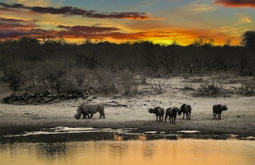 Ilmainen kuvapankkikuva tunnisteilla aamu, aamunkoitto, afrikkalainen puhveli, auringonlasku