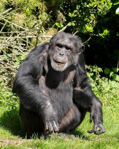 Chimpanzee on Green Grass