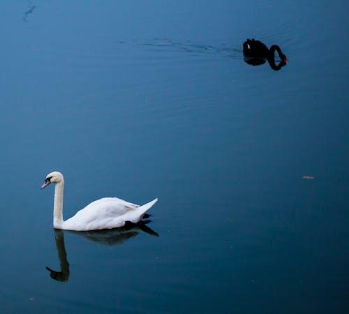 Δωρεάν στοκ φωτογραφιών με νερό, χήνα