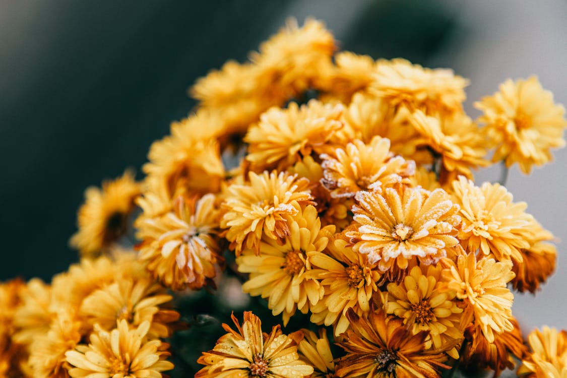 Blooming bright yellow Chrysanthemums flowers with delicate petals against blurred background in daylight