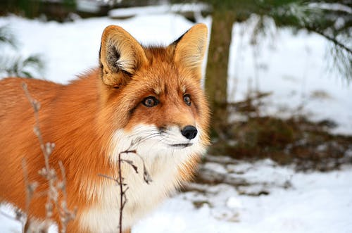 Adorable red fox with soft ears in forest with trees covered with snow on blurred background
