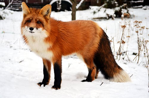 Adorable curious red fox with soft tail and funny ears in snow in nature