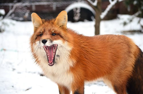 Red hunting fox with fluffy fur in forest on blurred background of snow in winter