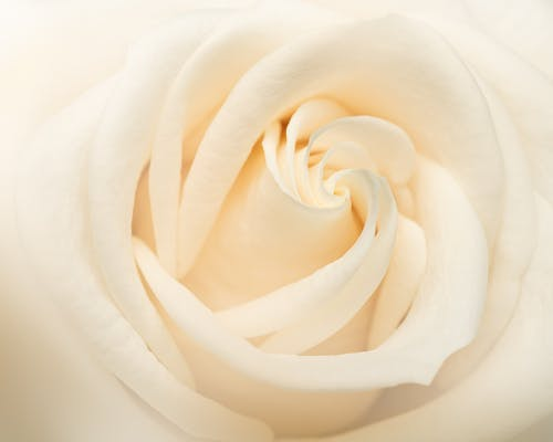 Closeup of fresh blooming rose with white petals and pleasant aroma illuminated by daylight