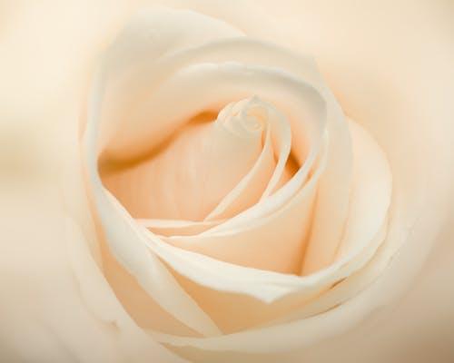 Fresh white rose flower in daylight
