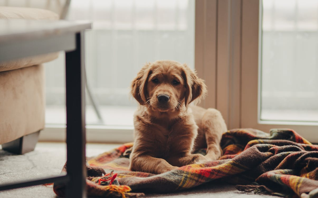 Golden Retriever Puppy on Bed