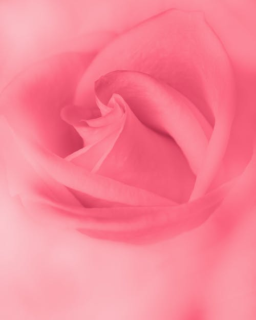 Abstract background of pink rose burgeon