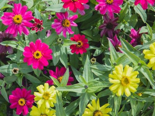 Bright zinnia flowers in garden