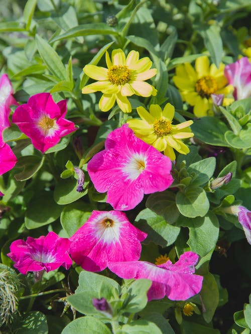 Blossoming bush with bright zinnia flowers and yellow zinnias with green leaves growing in nature on summer time under sunlight